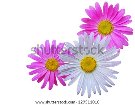 chamomile flowers isolated on white - stock photo
