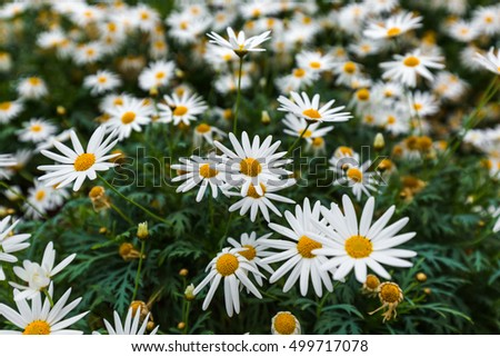 Chamomile flowers - nature floral background