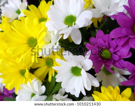 chamomile flowers of different colors