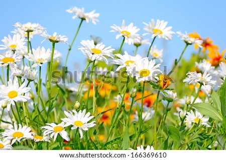 Chamomile flowers on blue sky background, close up view, selective focus