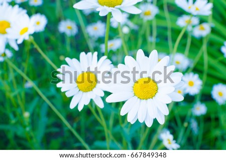 Chamomile flowers on green meadow, warm and beautiful