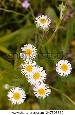 chamomile flowers on the green grass background - stock photo