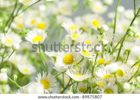 chamomile flowers on white background