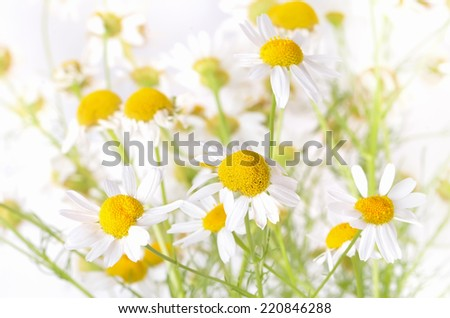 Chamomile flowers on white background, close up view, shallow depth of field - stock photo