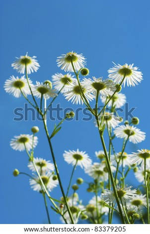 chamomile flowers with blue sky