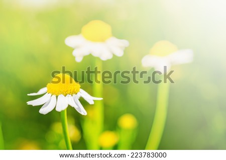 Chamomile flowers with selective focus - stock photo