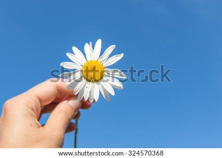 Chamomile in hand against blue sky