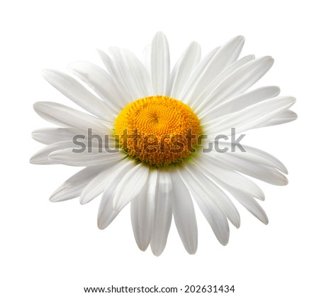 Chamomile isolated on white background - stock photo