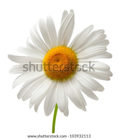 Chamomile isolated on white background. Close-up view