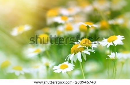 Chamomile (wild chamomile) - daisy flower - stock photo