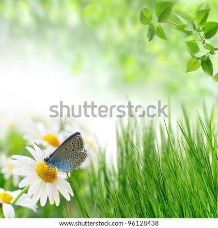 chamomiles and butterfly in the nature - stock photo
