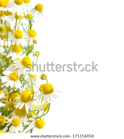 Chamomiles border isolated on white background. shallow depth of field.