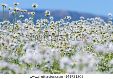 Chamomiles field - stock photo
