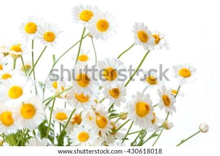 Chamomiles isolated on white background. - stock photo