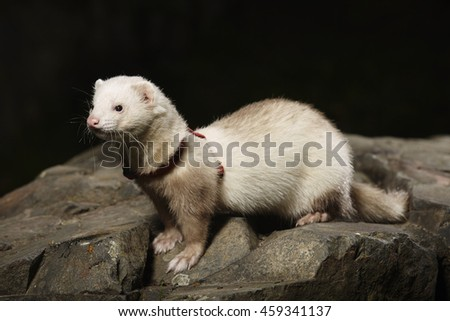 Champagne ferret on walk in park posing on stone