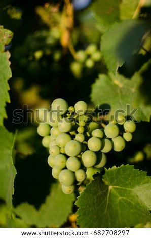 Champagne grapes (Chardonnay) in France