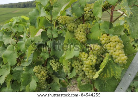 champagne grapes #6, epernay