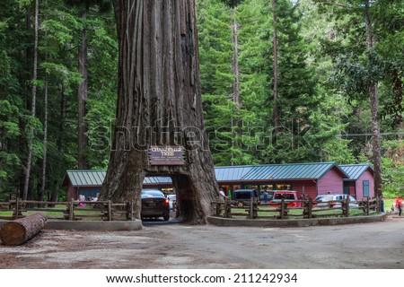 Chandalier Tree, drive thrue giant redwood tree in California. Redwoods  Parks - stock photo