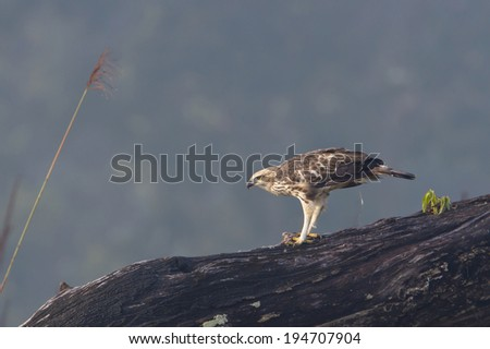 Changeable hawk eagle eating a mouse specie Spizaetus cirrhatus