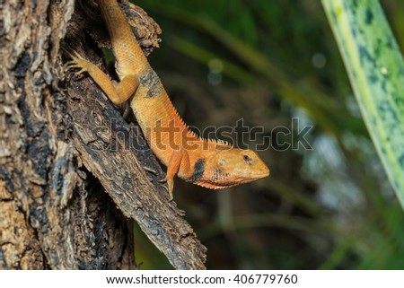 Changeable Lizard,Lizard,animals, nature,Reptiles.