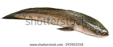 Channa marulius or Giant Snakehead known as gozar fish in Bangladesh - stock photo