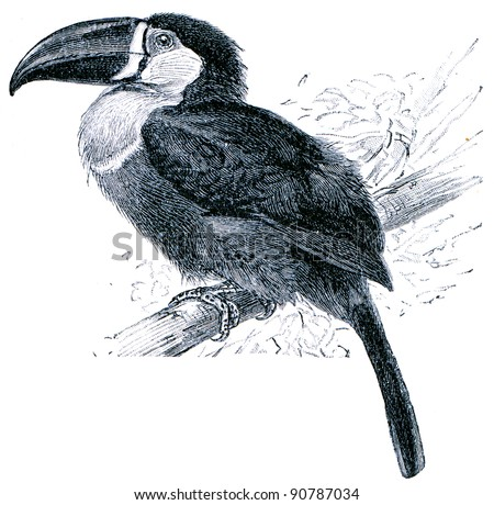 Channel-billed Toucan - Ramphastos temminckii - an illustration of the encyclopedia publishers Education, St. Petersburg, Russian Empire, 1896