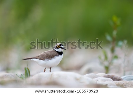 Charadrius dubius with green background - stock photo
