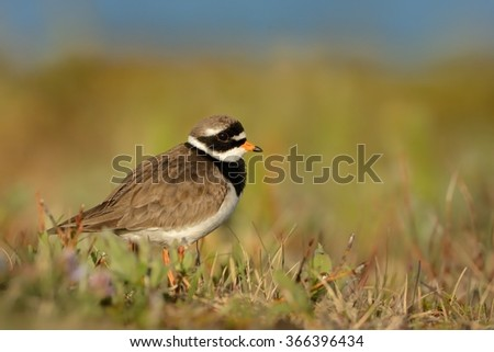 Charadrius hiaticula - Common Ringed Plover -  in the meadow. - stock photo