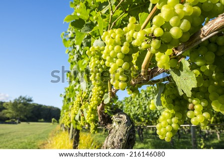 Chardonnay Grapes in a Vineyard - stock photo
