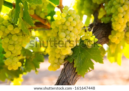 chardonnay Wine grapes in vineyard raw ready for harvest in Mediterranean - stock photo