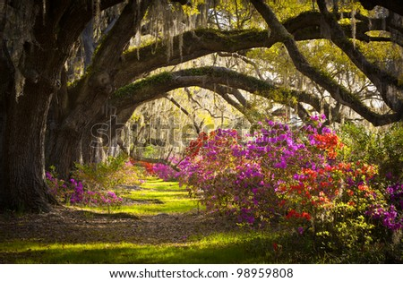 Charleston SC Plantation Live Oak Trees Spanish Moss Azalea Flowers Blooming Spring Blooms