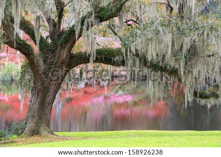 Charleston, South Carolina southern living oak tree with hanging moss in an outdoor garden - stock photo