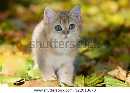 Charming British Golden shaded kitten with green eyes sitting in autumn leaves in the garden