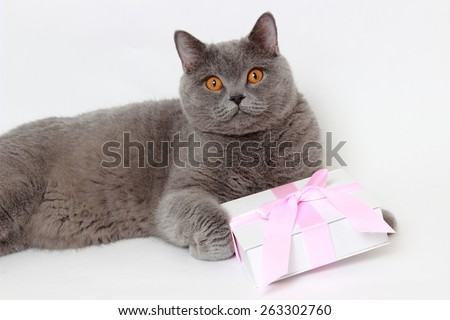Charming short hair gray British cat holding present gift box with pink bow - stock photo