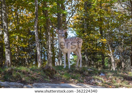 Charming spotty deer on a forest glade in sunny day. Wild animals in the Rocky Mountains of Canada - stock photo