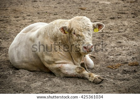 Charolais beef cattle breed resting on the paddock