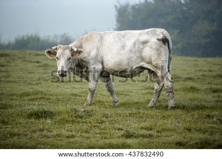 Charolais cattle on the Pasture in Brittany France in Summer - stock photo