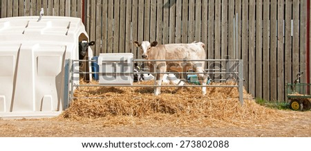 Charolais cross calf standing in a pen with Holstein calf peeking out of the shelter