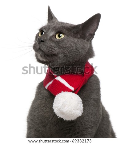 Chartreux cat wearing winter scarf, 3 years old, in front of white background - stock photo