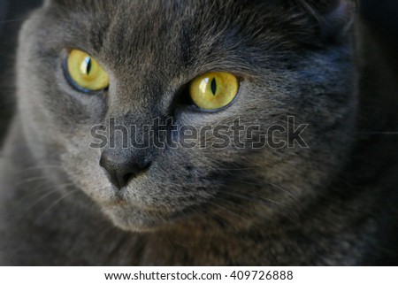 Chartreux Cat (6 years old, female) with striking eyes as a portrait in natural sunlight