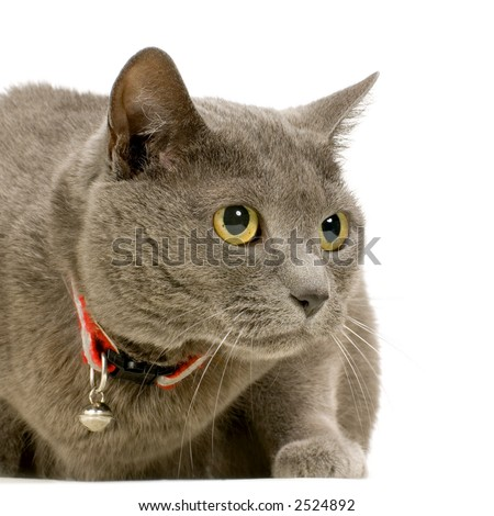 Chartreux in front of a white background