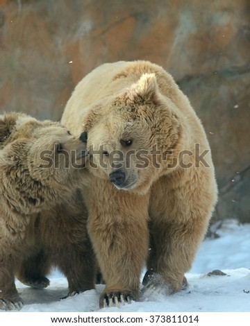 Chat of Himalayan brown bears (Ursus arctos isabellinus) sometimes confused or mistaken with Yeti