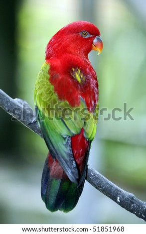 Chattering Lory 2