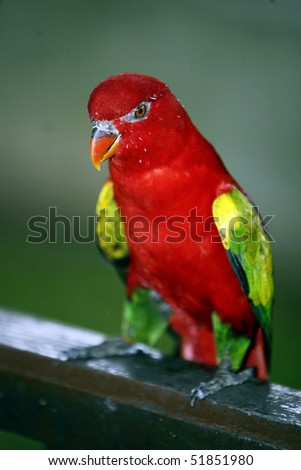 Chattering Lory 4