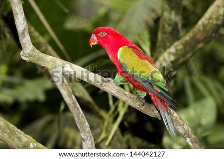 Chattering lory, Lorius garrulus, single captive bird on branch, Indonesia, March 2011