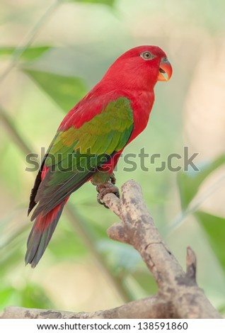 Chattering Lory resting on a bough. - stock photo