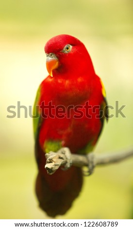 Chattering Lory resting on a twig
