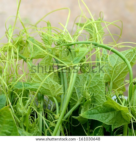 Chayote Green Vegetable in asia - stock photo