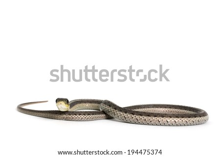 checkered garter snake on white background - stock photo
