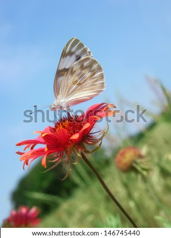 Checkered White (Pontia protodice) Butterfly, aka Southern Cabbage Butterfly, feeding on Indian Blanket (Gaillardia pulchella) wildflower against blue sky - stock photo
